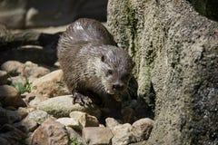 Eurasian River Otter- stock image