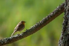 Eurasian Robin stock image