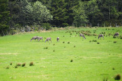 Eurasian roe deer grazing in field Royalty Free Stock Photo