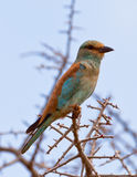 The Eurasian Roller. (Coracias garrulus) spends the cold european winter in Africa but will head home in springtime Royalty Free Stock Photo