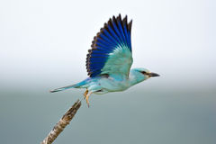 Eurasian Roller. Taking flight; coracias garrulus; South Africa Royalty Free Stock Image