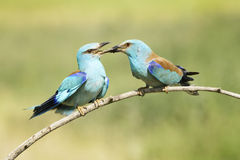 Eurasian Roller Royalty Free Stock Photos