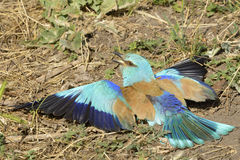 Eurasian Roller Royalty Free Stock Images