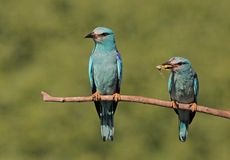 Eurasian Roller pair Stock Photos