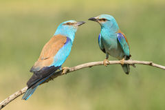 Eurasian Roller. A pair of Eurasian Rollers sitting and displaying together on a branch stock image