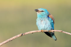 Eurasian Roller Stock Photography