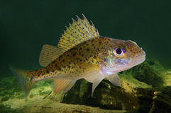 The Eurasian Ruffe (Gymnocephalus cernuus). Stock Photos