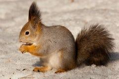 eurasian sciurus czerwona wiewiórka vulgaris zdjęcie stock