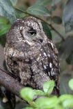 Eurasian Scops owl Stock Photo