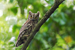 Eurasian Scops Owl Royalty Free Stock Photo