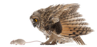 Eurasian Scops-owl Looking At A Mouse Royalty Free Stock Image
