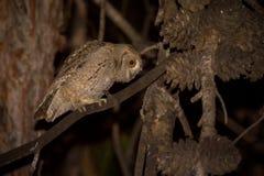 Eurasian Scops Owl (Otus scops) Royalty Free Stock Photography