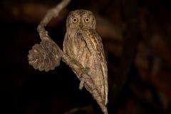 Eurasian Scops Owl Otus scops Royalty Free Stock Photo