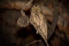 Eurasian Scops Owl stock photography