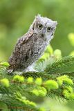 Eurasian scops owl Stock Photography