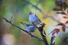 Eurasian Siskin птицы Стоковое фото RF