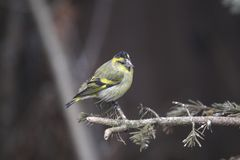 Eurasian siskin Stock Photos