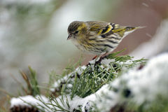 Eurasian Siskin Stock Photography