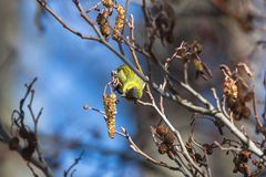 Eurasian Siskin Royalty Free Stock Images