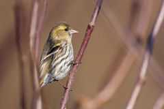 Eurasian siskin Royalty Free Stock Photography