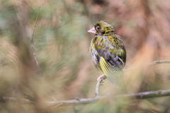 Eurasian siskin Stock Photo