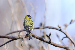 Eurasian siskin, carduelis spinus Royalty Free Stock Images