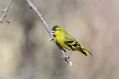 Eurasian siskin, carduelis spinus Stock Photography