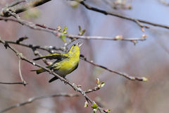 Eurasian siskin, carduelis spinus Stock Photo