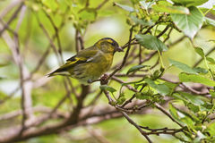 Eurasian Siskin,Carduelis spinus Stock Photography