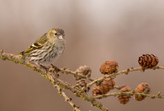 Eurasian Siskin - Carduelis spinus Royalty Free Stock Photography