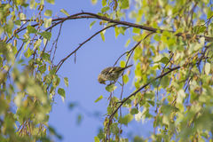 Eurasian siskin, carduelis spinus, female Stock Photo