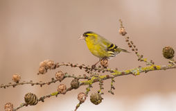 Eurasian Siskin - Carduelis spinus Royalty Free Stock Images