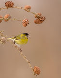 Eurasian Siskin - Carduelis spinus Stock Photography