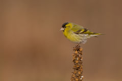 Eurasian Siskin - Carduelis spinus. Male at a birds feeder in winter Royalty Free Stock Images