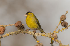Eurasian Siskin - Carduelis spinus. Male at a birds feeder in winter Royalty Free Stock Photography