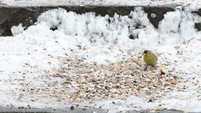 Eurasian Siskin Carduelis spinus picking up a seed from snow ground.  stock video