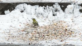 Eurasian Siskin Carduelis spinus picking up a seed from snow ground.  stock video footage