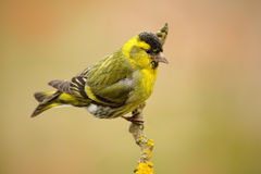 Eurasian Siskin, Carduelis spinus, sitting on the branch with yellow lichen, clear background. Czech Stock Photo