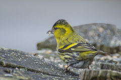 Eurasian Siskin (Carduelis spinus) Royalty Free Stock Images