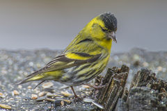 Eurasian Siskin (Carduelis spinus) Stock Photos