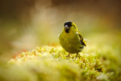 Eurasian Siskin, Carduelis spinus, song bird sitting on the branch with yellow lichen, clear background, beautiful sun light, Germ. Any, Europe Stock Images