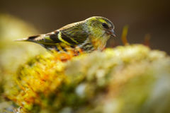 Eurasian Siskin, Carduelis spinus, song bird sitting on the branch with yellow lichen, clear background, beautiful sun light, Germ. Any Stock Photography