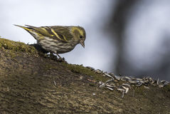 Eurasian siskin. Eating  sunflower seeds Stock Image