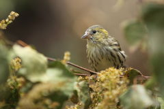 Eurasian siskin female Stock Images