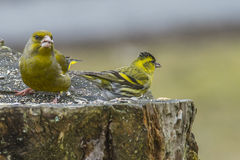 Eurasian Siskin & Greenfinch Immagine Stock