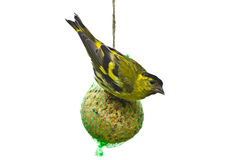 Eurasian siskin isolated Stock Images