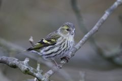 Eurasian siskin Spinus spinus Stock Photo