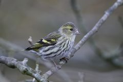 Eurasian siskin Spinus spinus Royalty Free Stock Photography