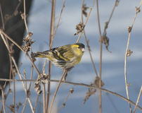 Eurasian Siskin male feeding on a branch. Eurasian Siskin male feeding on a dry branch Stock Photography