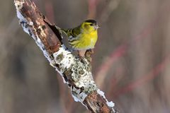 Eurasian siskin meets the rising sun, sitting on a birch branch. Eurasian siskin Spinus spinus meets the rising sun, sitting on a birch branch sun reflect in Royalty Free Stock Photos